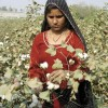 Raw Cotton in Pakistan