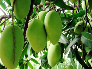 mangoes of pakistan