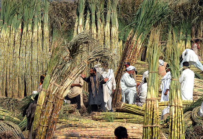 cash crop of pakistan The cash crops are cotton, tobacco and sugarcane food crops 1 wheat :- it is the basic food crop of pakistan but still pakistan is facing the food shortage problem now pakistan has achieved nearly self sufficiency in wheat smuggling of wheat to india and afghanistan is still continue.